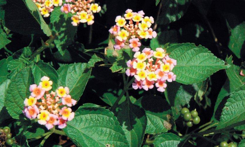 <p>Plante médicinale dans le jardin de Nzaloungou.</p>