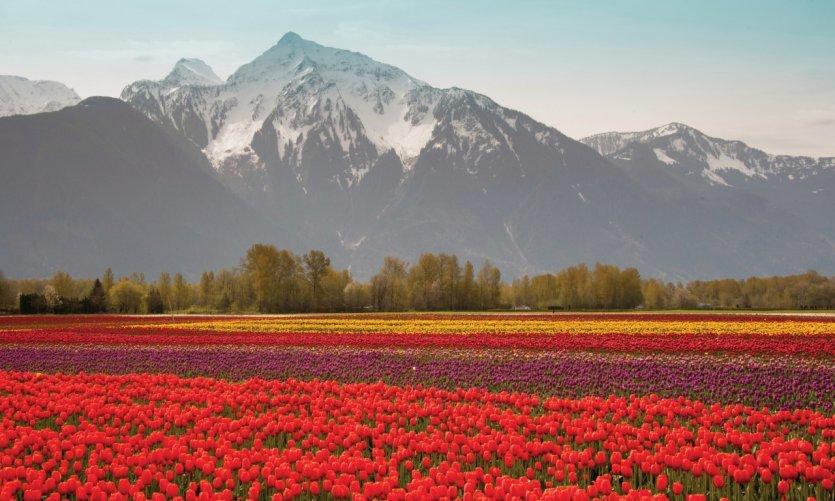 Tulipes devant le Cheam Peak, à Chilliwack.