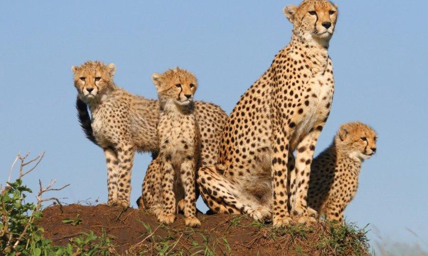 Famille de léopards dans la réserve naturelle de Masai Mara.