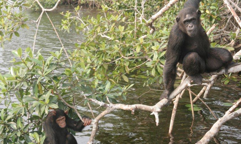 Parc national de Conkouati-Douli, chimpanzés sur une des îles du sanctuaire de Help Congo.