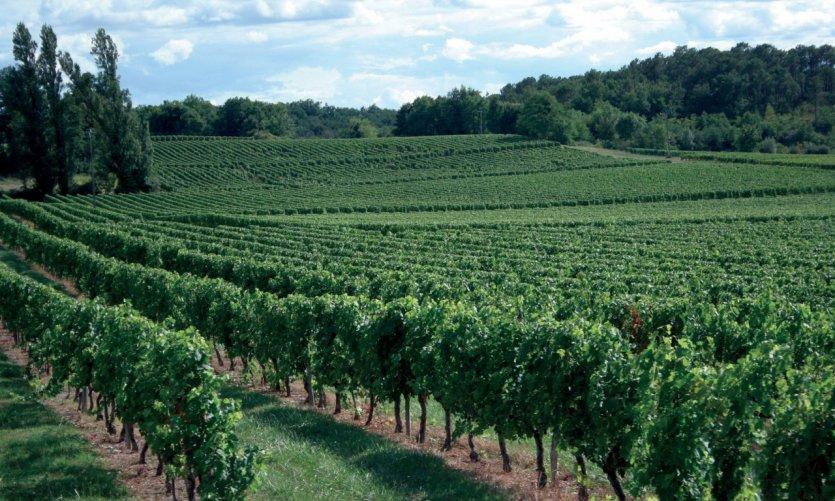 Le vignoble de Saint-Emilion.