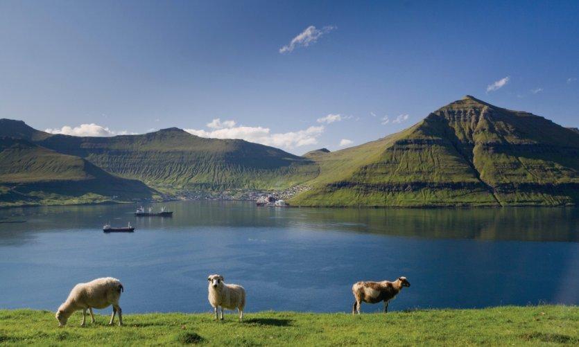 Troupeau de moutons des Îles Féroé.