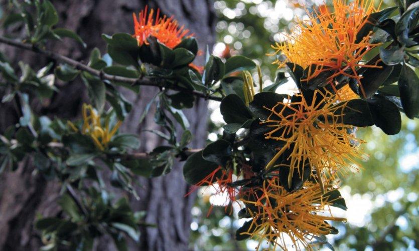 Flore de la vallée de las Trancas, près de Chillan