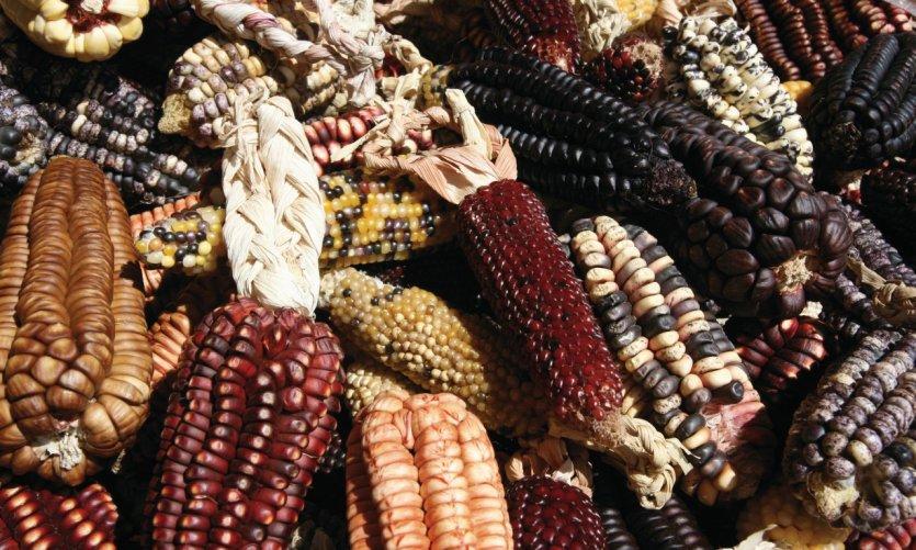 Maïs dans toute sa diversité.