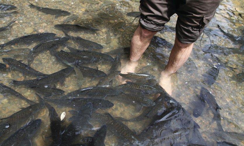 Séance de fish massage par des poissons tagal