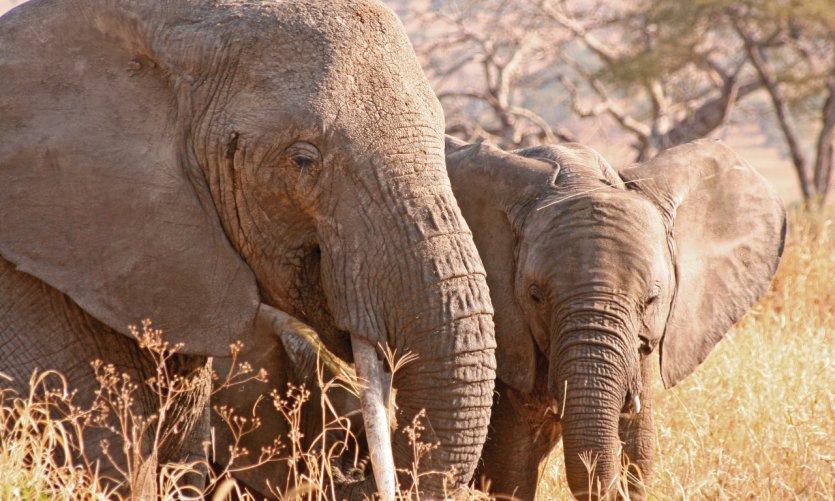 Éléphante et son petit, Tarangire National Park