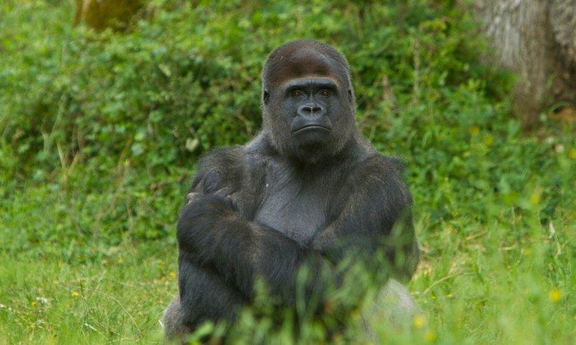 Gorille de la vallée des singes.