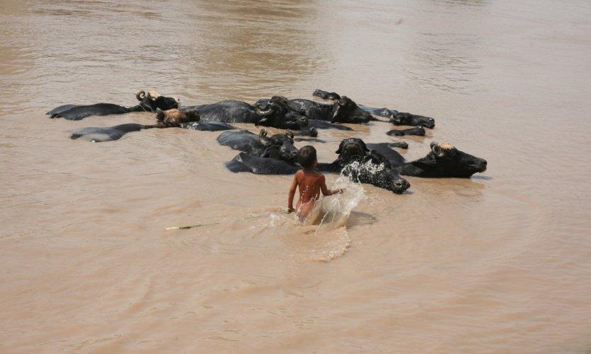 Un jeune garçon se baigne dans l'Indus avec ses buffles à Sukkur.