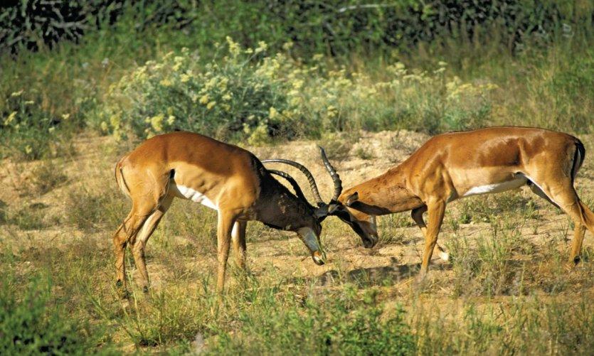Kenya, Laikipia, parc Il Ngwesi