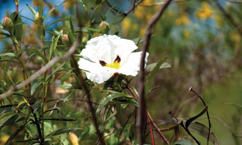 Fleur sauvage dans les environs de Tavira.