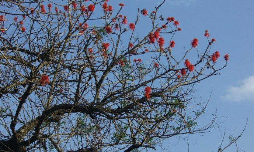 L'érythrine, arbre sacré du Burundi ancien.