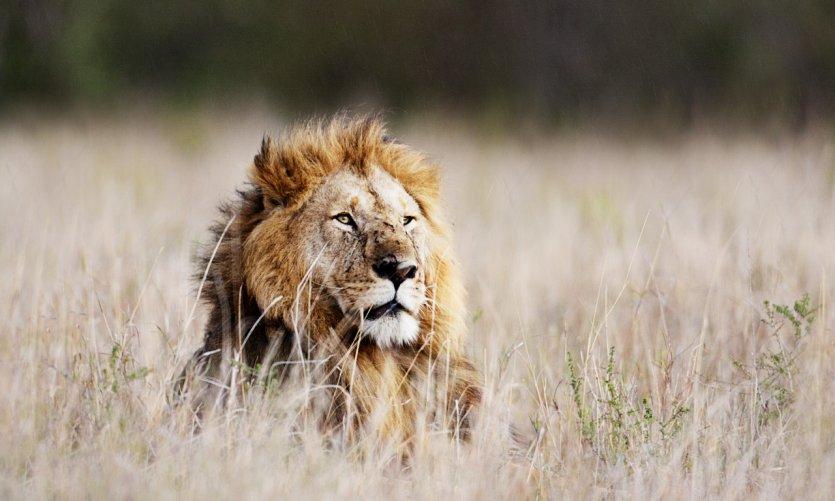 Lion de la réserve nationale du Massaï-Mara.
