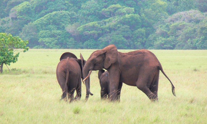 Éléphants du parc national de Loango.