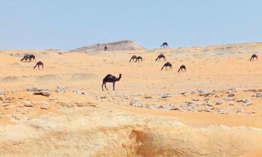 Chameaux dans le désert du sud du Qatar.