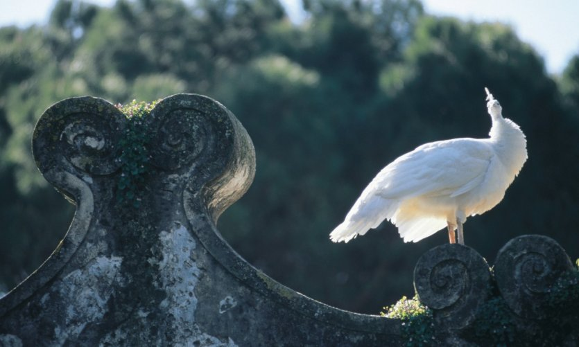 Oiseau posé près du Castelo São Jorge.