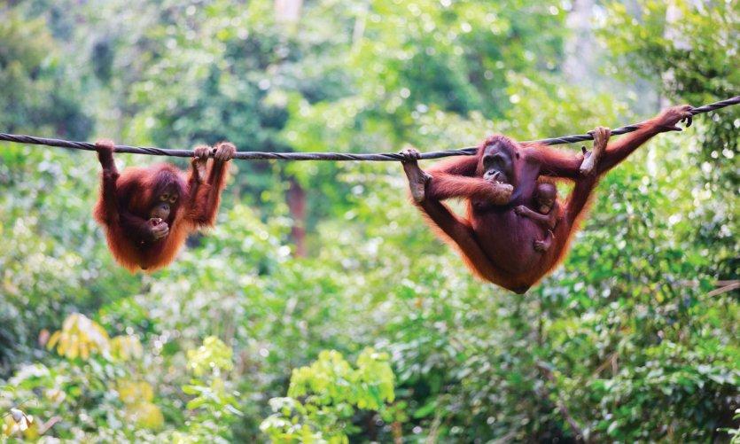 Famille orang-outan de Bornéo.