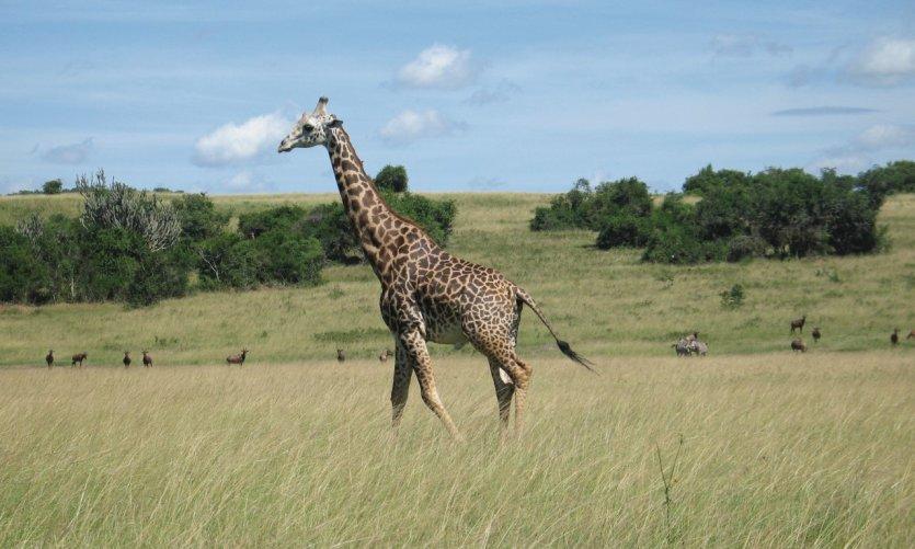 Girafe à l'Akagera.