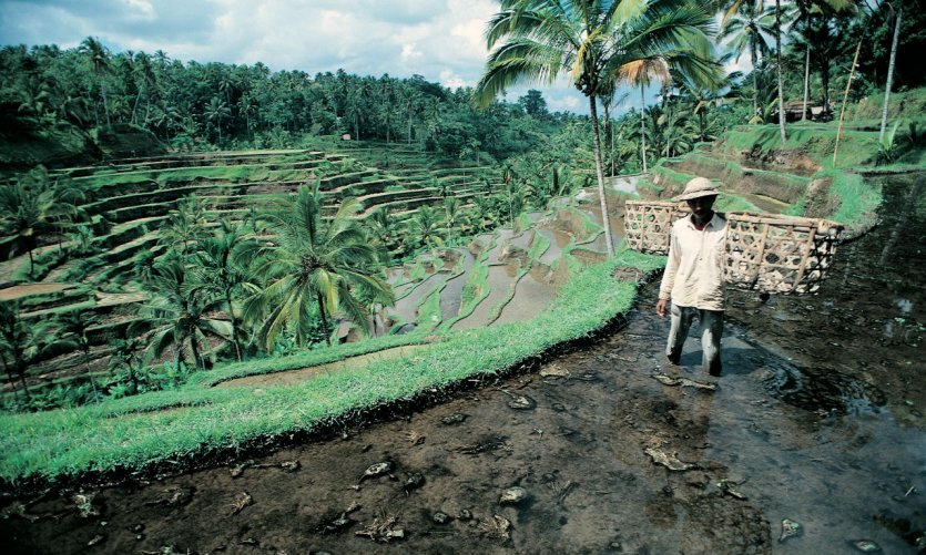Paddy near Ubud.