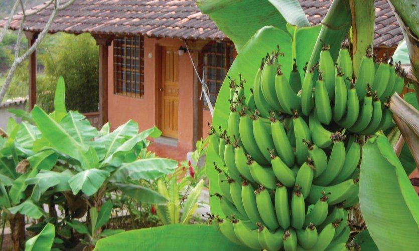 Plantación de plátanos pre -2 s de Copan.