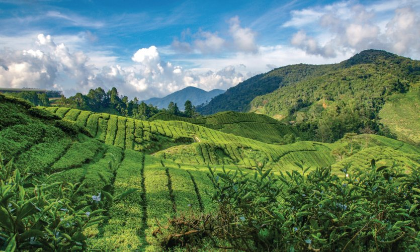 <p>Tea plantations, Cameron Highlands.</p>