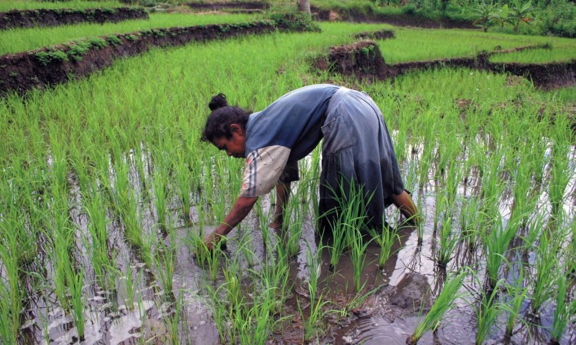 Femme travaillant dans les rizières de Moni.