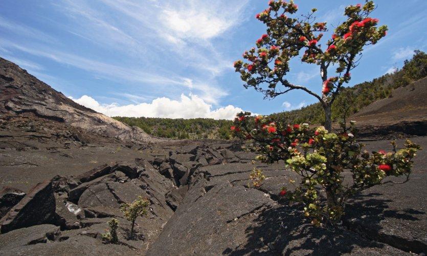 Ohia Lehua sobre el volcán Kīlauea.
