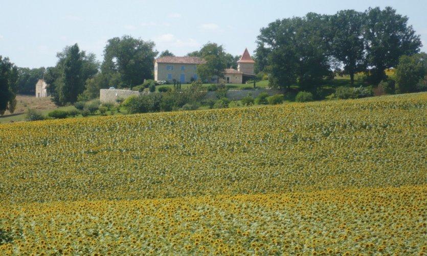 Champ de tournesols aux environs de La Romieu