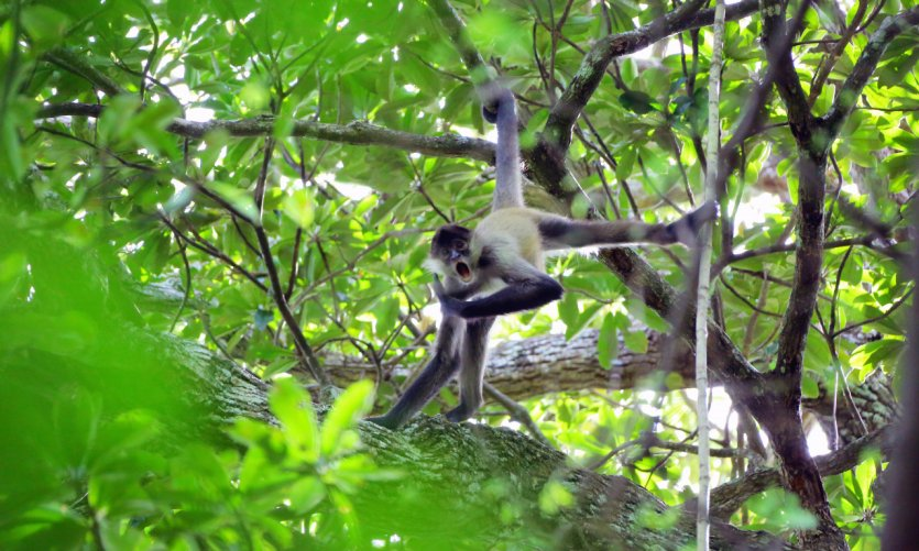 Singe-arraignée dans le parc national Rincon de la Vieja.