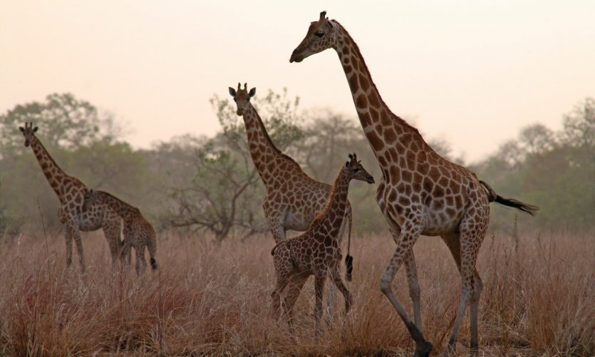 Girafes dans le Parc National de Zakouma.