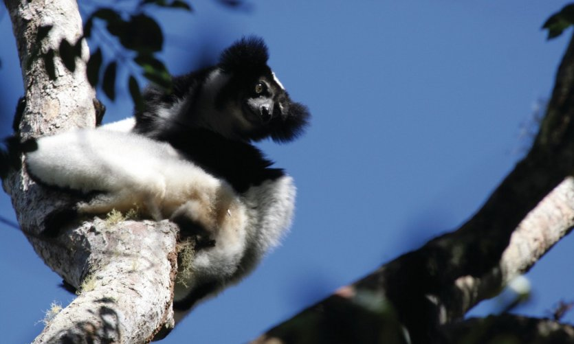 Indri Indri in the national park of Andasibe