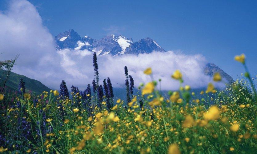 Genêts dans le massif de la Meije