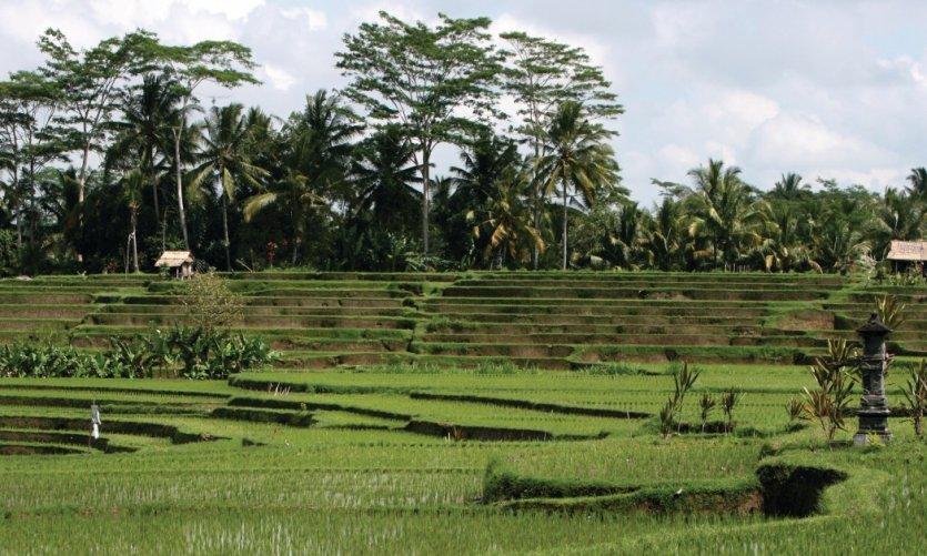 Rice fields in the Mengwi region.