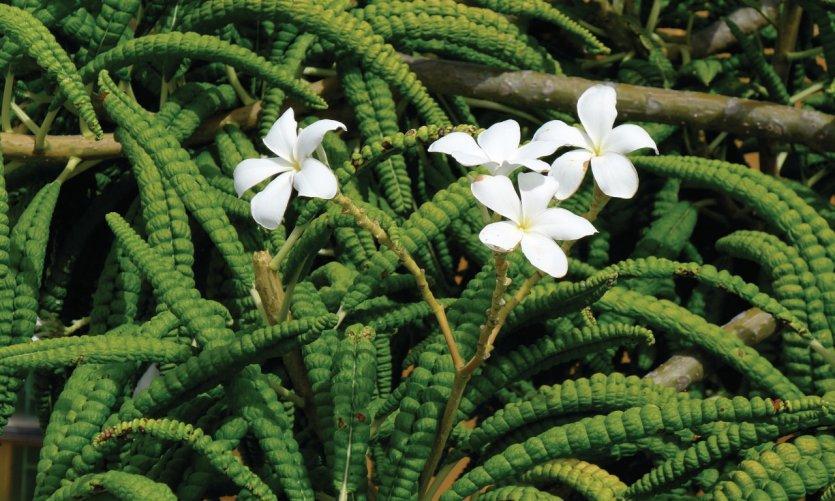 Fleurs des Grenadines.