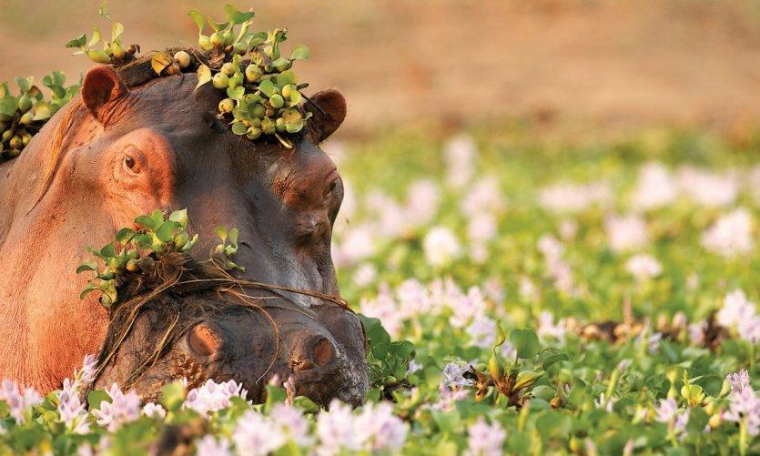 Hippopotame dans le parc national de Zambezi.