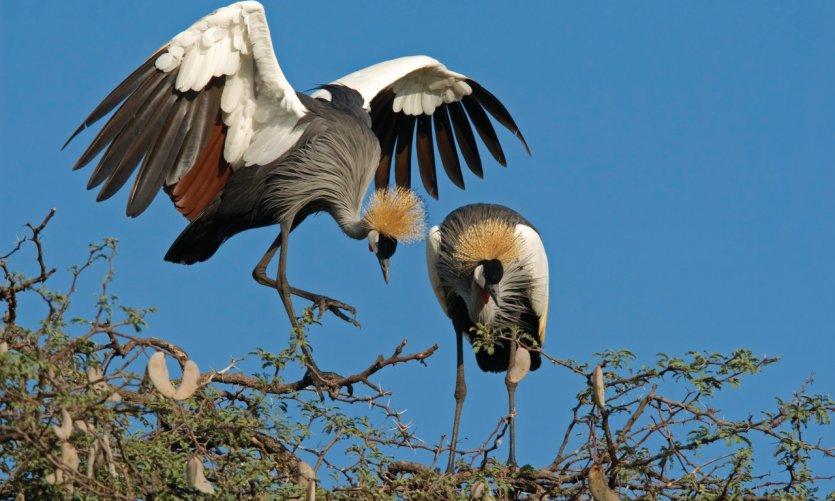 Grues royales du Hwange National Park.