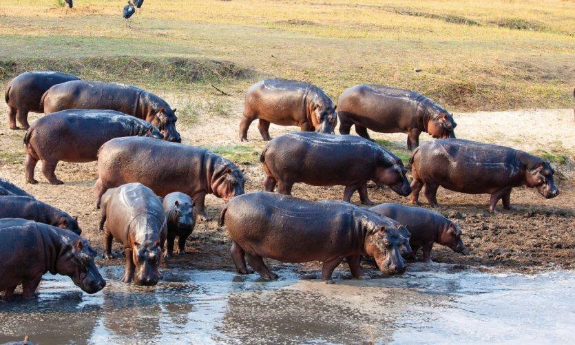 Hippopotames du lac Tanganyika.