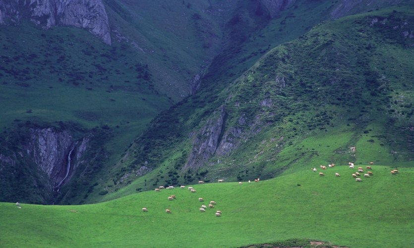 Troupeau de vaches - Hautes-Pyrénées