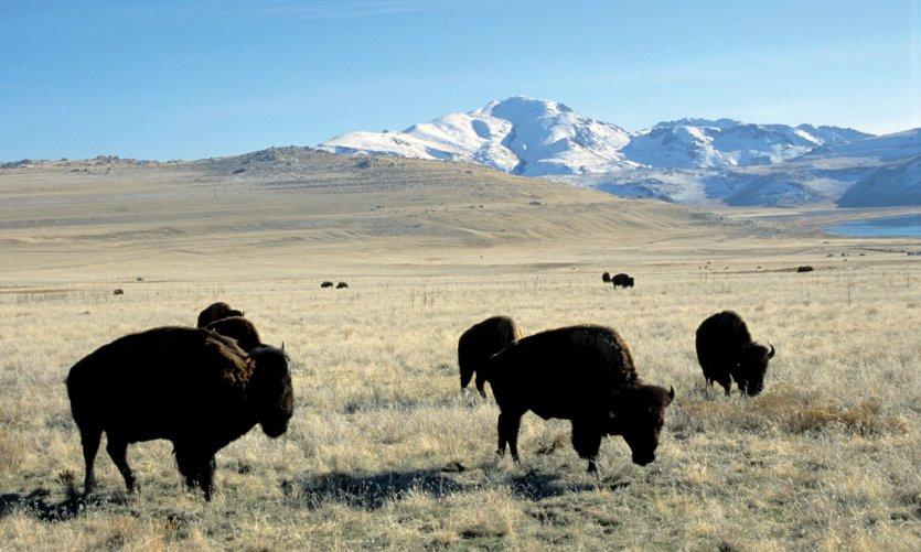 Bisons à Antelope Island dans le parc du Grand Lac Salé (Great Salt Lake State Park).