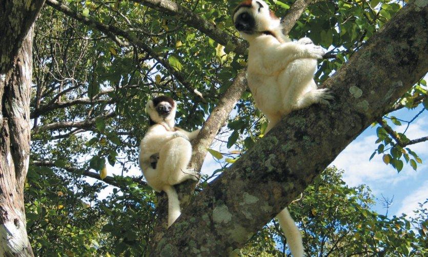 Lémurien dans la réserve de Nahampoana