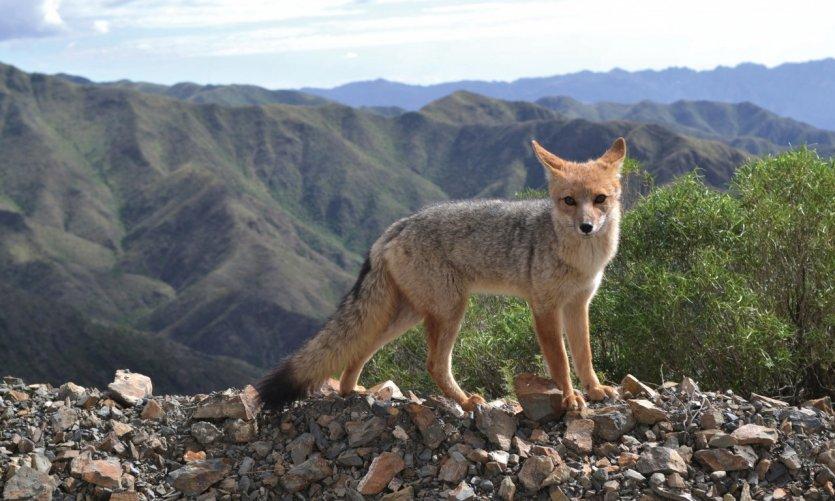 Renard roux de la réserve naturelle de Villavicencio.