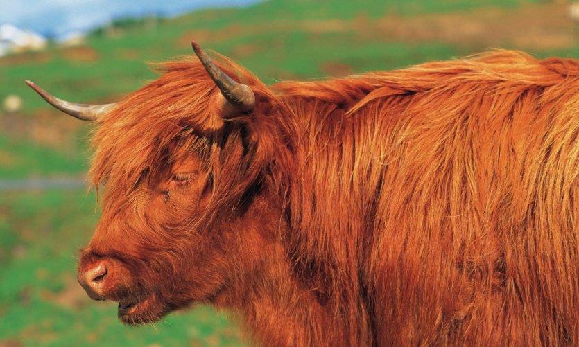 Vache des Highlands.