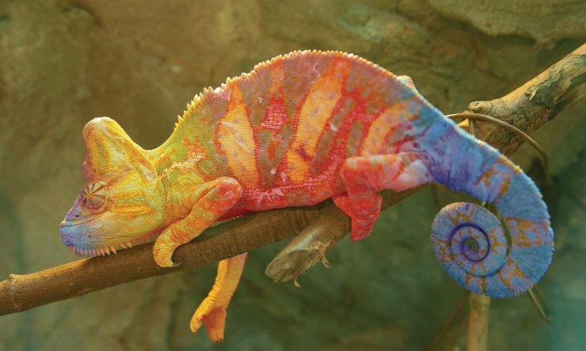 Caméléon de Madagascar.