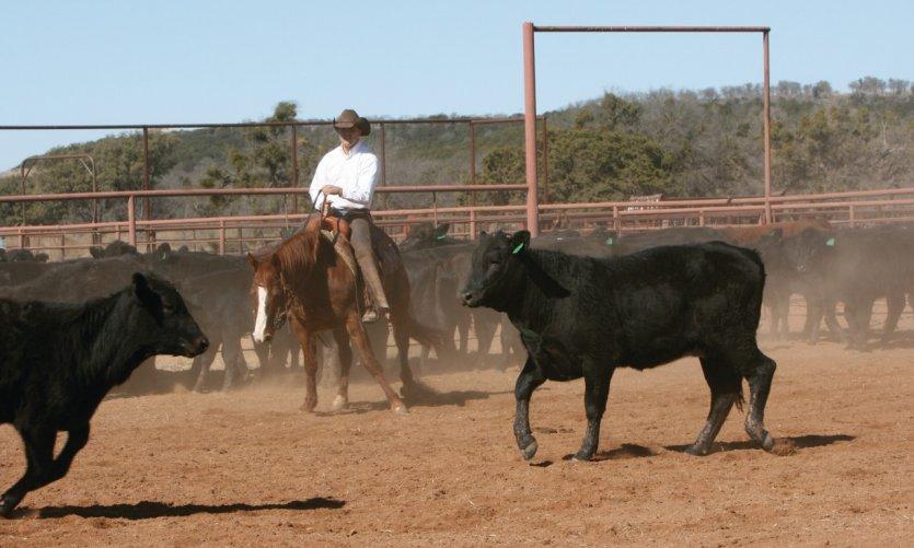 <p>Cow-boy au milieu de jeunes taureaux.</p>