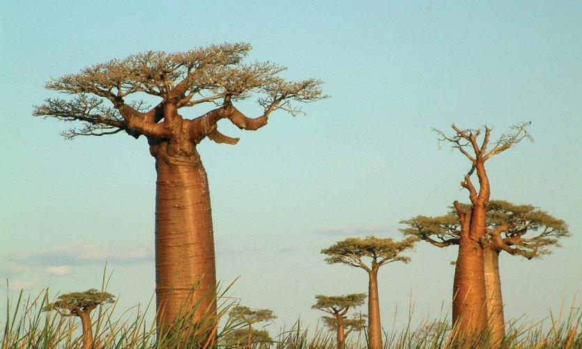 Madagascar possède six variétés de baobabs.