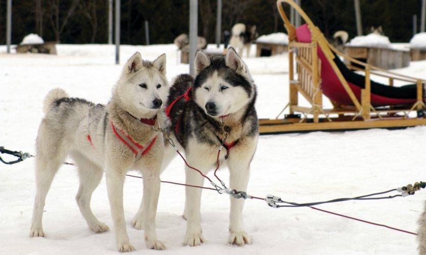 <p>Station touristique Duchesnay, chiens huskies.</p>