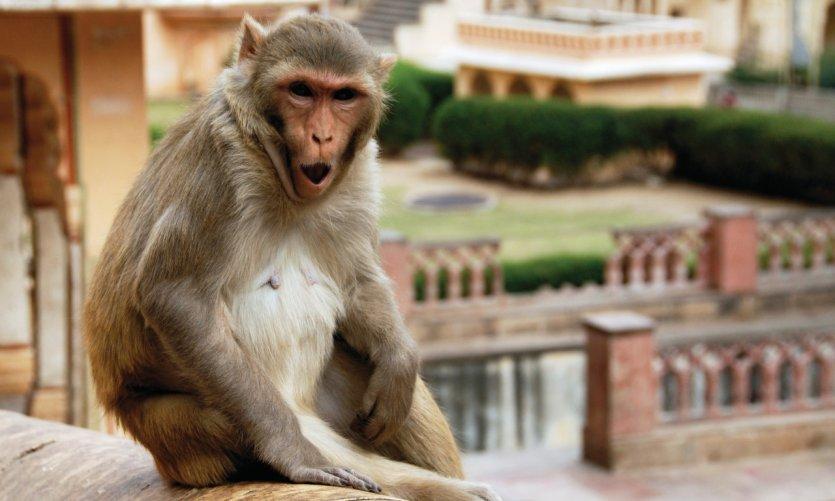 Singe du temple de Galta (Monkey Temple).