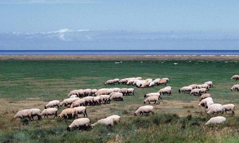 Moutons de pré-salés broutant dans les polders de la baie du Mont-Saint-Michel