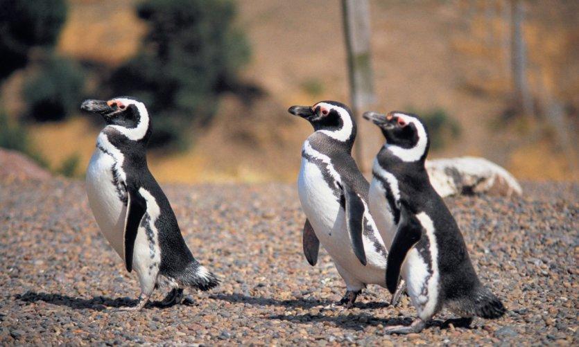<p>Penguins in Punta Tombo.</p>
