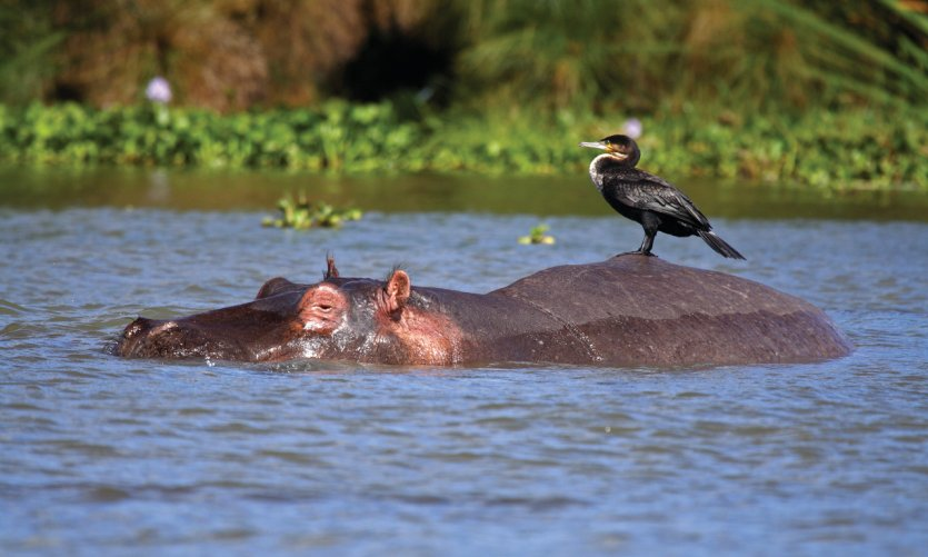 Hippopotame et son cormoran.