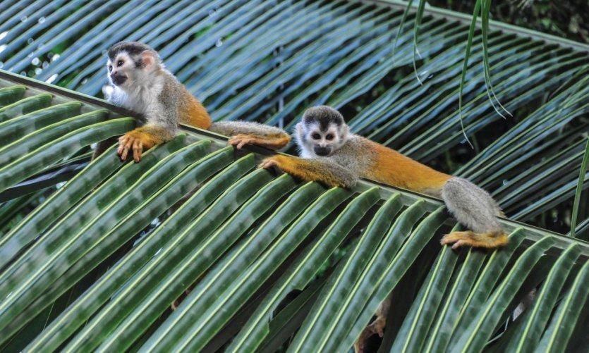 Singes-écureuils dans la forêt de Quepos.